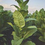 Honduras Tobacco Plant
