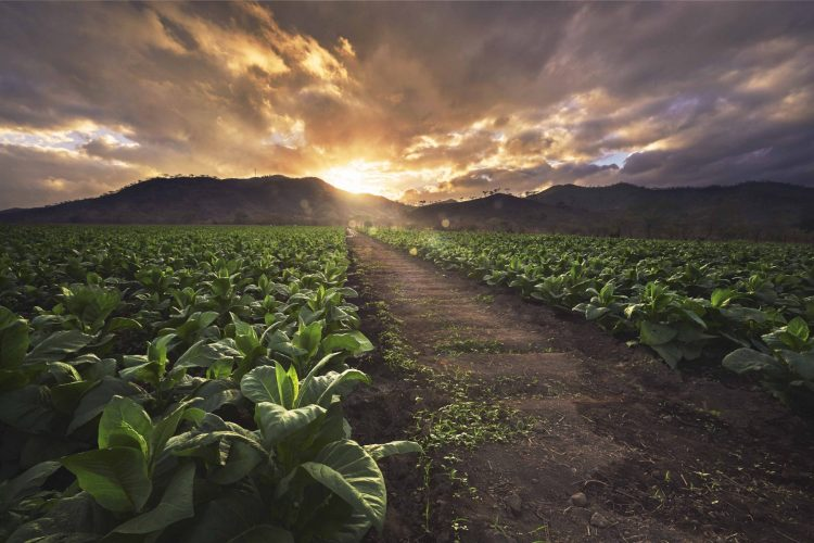 Tobacco Fields Rocky Patel